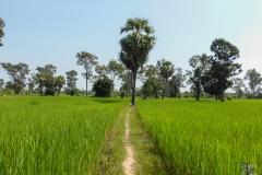 Durchs Reisfeld