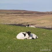 Schafe beim chillen.